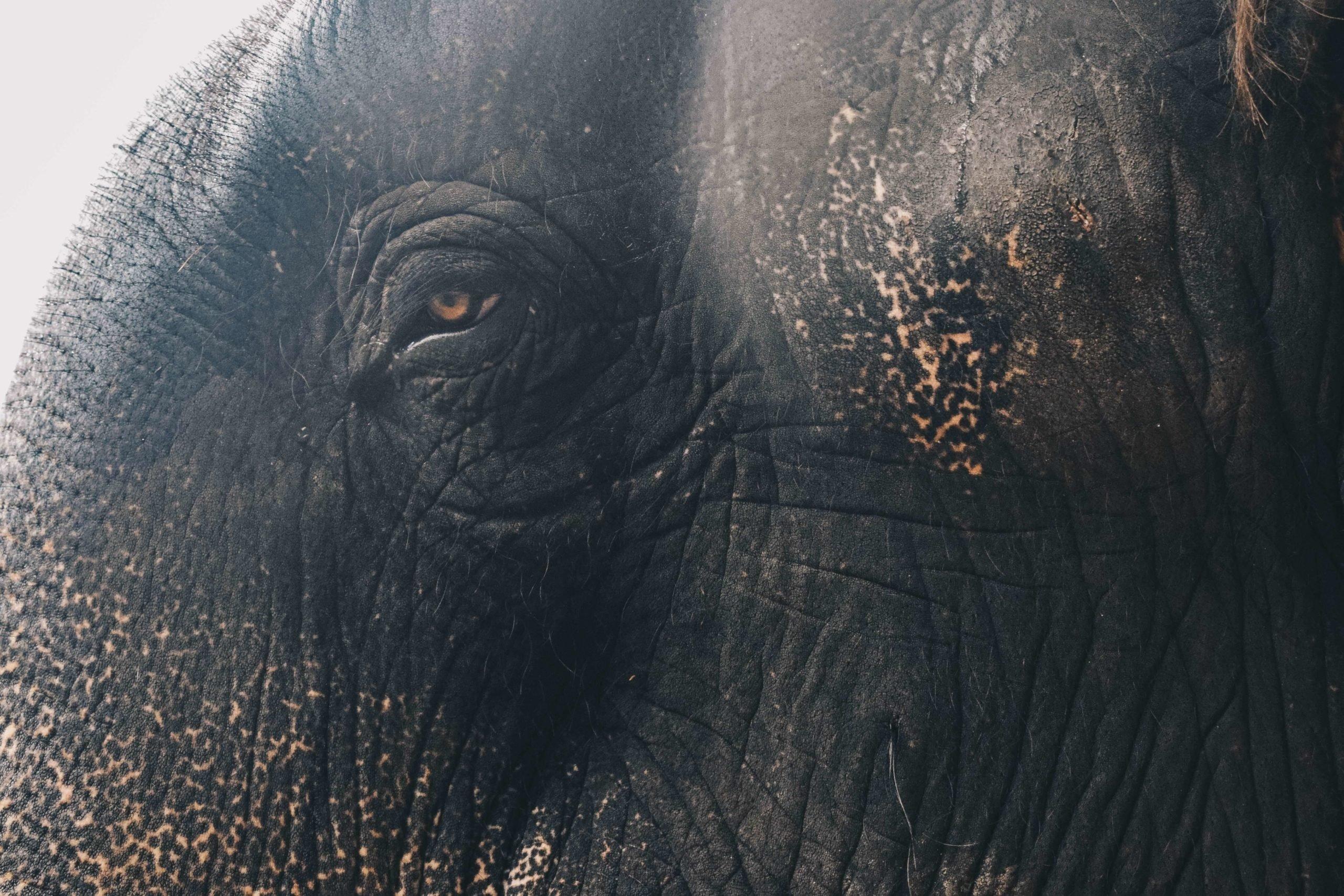 elefánt szem